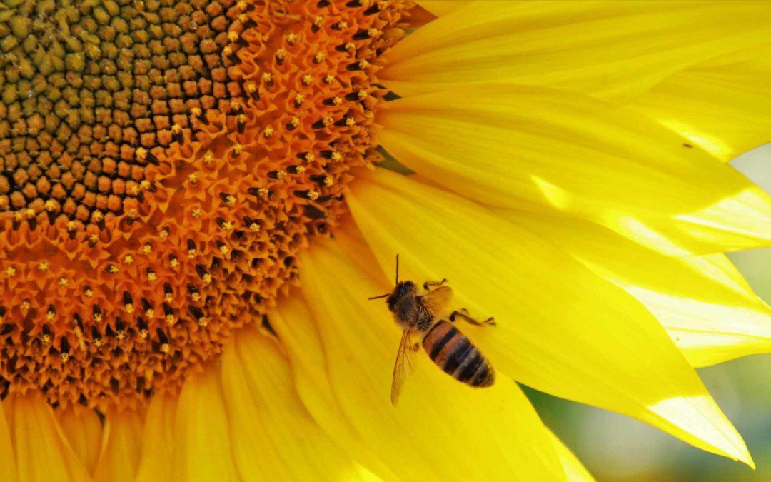 Une abeille sur un tournesol, symbole de la transition écologique